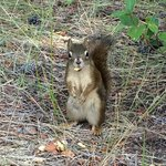 Friendly red squirrel