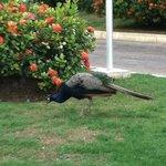 A peacock in the garden