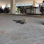 Friendly iguanas hang out at pool