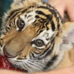 A tiger cub poses for the camera.
