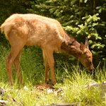 An elk calf in Yellowstone National Park