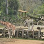 Giraffes, ostriches, zebras and a rhino