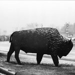 Buffalo in front of hotel