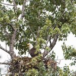 Young Eagles in nest1