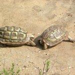 Rare Parrot Beaked Tortoise