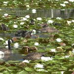 Geese and ducks diving among the lilies of Bass Lake