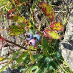 Bog Brook Cove wild blueberries