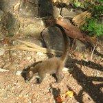 White-Tailed Coati