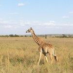 Giraffes everywhere
