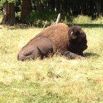 Grand buffalo!