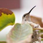 Esta hembra de colibrí tuvo 2 polluelos y aprendieron a volar cuando estábamos allí