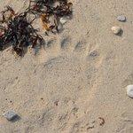 Be careful, Polar Bear Print on the beach