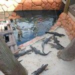 alligators to feed