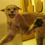 Stuffed mountain lion in the lobby