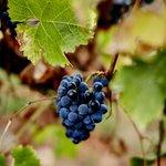 Coldstream grapes