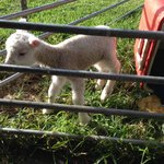 Tuppins the lamb