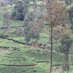 Ceylon Tea Trails (Aug 2013): Tea planted mountain