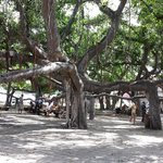 Banyan tree is about two blocks away - fills an entire block