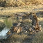 Two male Cheetahs on the Spillway