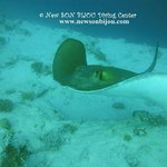 Giant sting ray
