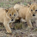 Naughty lion cubs
