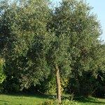 ulivi e macchia mediterranea