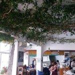 Ficus Benjamini im Salon