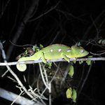 chameleon at night walk