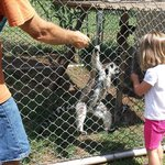 Feeding the ring tailed lemurs.