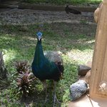 One of the many peacocks around the garden