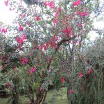 a fushia tree
