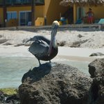 Pelican outside our room