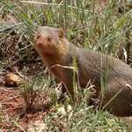 Dwarf mongoose living outside our room