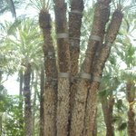 7 trunked palm