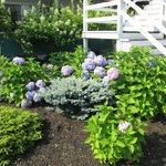 Grounds outside our room with multi-colored hydrangeas