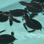 Young sea turtles nursery