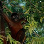 a spider monkey relaxing