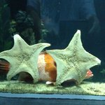 Fish hiding behind starfish