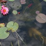 Beautiful water lily in koi pond.