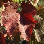 Beautiful Fall Merlot leaves.