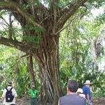 Altun Ha Ruins - magnificent tree