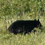 Bear on bluff