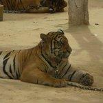 The Grand big cat ...