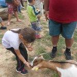 nourrissage des chèvres à 14h15