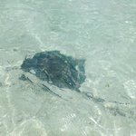 Stingray right up close to shore.