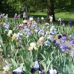 in the iris  garden