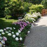 rows of peonies in bloom