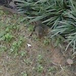 This is one of the rats that was running around the grounds