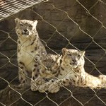 3 Snow Leopard Cubs possibly about 9/10 months old