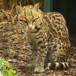 This gorgeous Ocelot posing very nicely for me